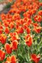 Tulips in Sofiero park