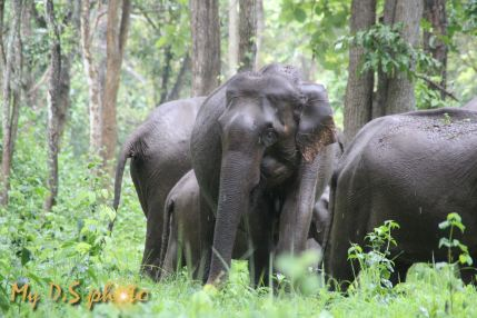 Wild elephants in Wayanad