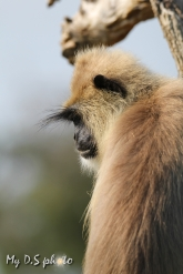 Profile of a langur