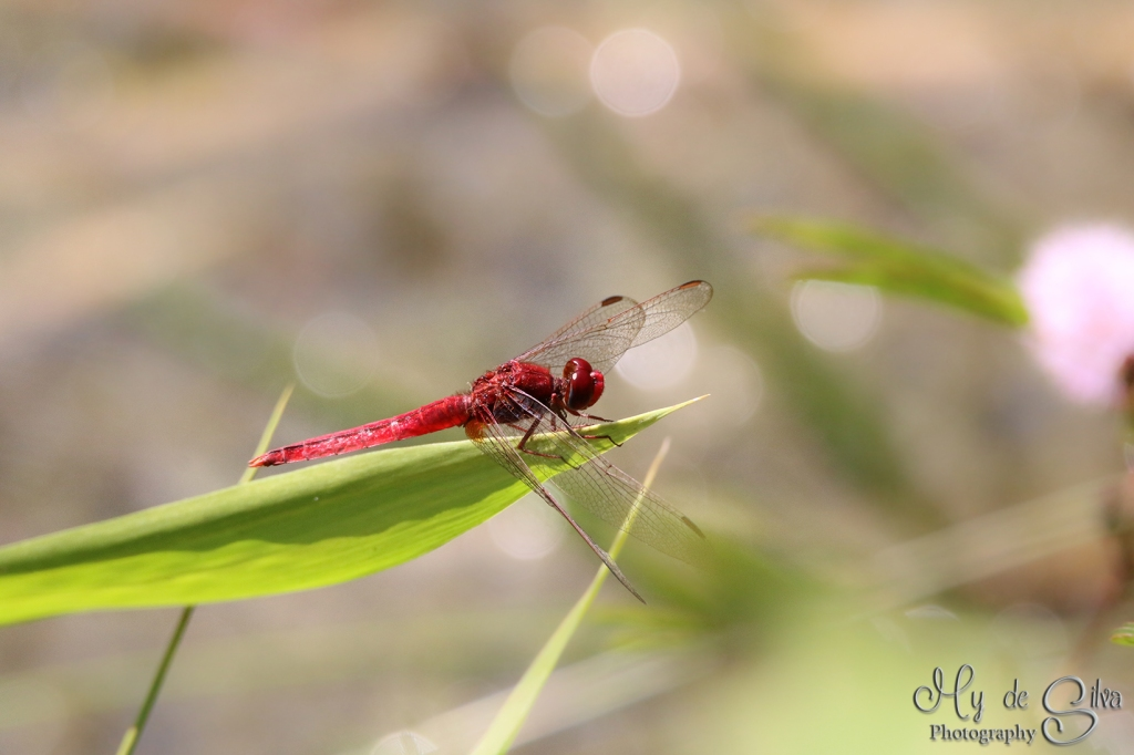 Red dragonfly (oriental), Male