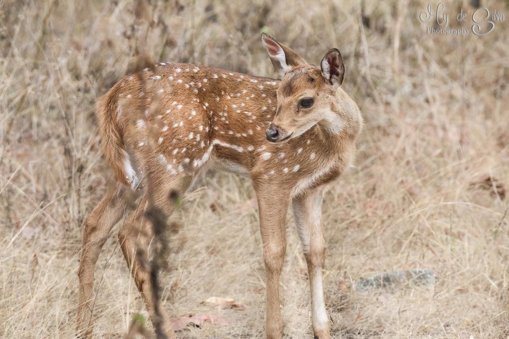 Baby spotted deer