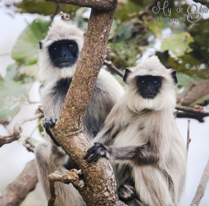 Langur couple